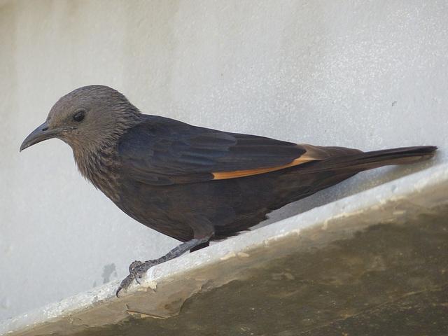 Studies of Tristram's Starling (6) - 20 May 2014