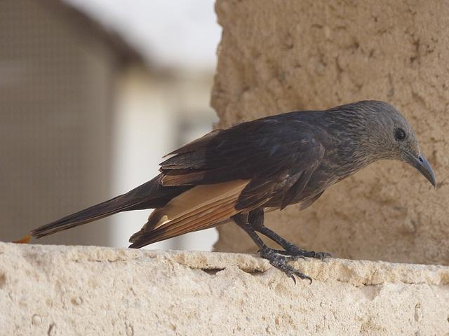 Studies of Tristram's Starling (7) - 20 May 2014