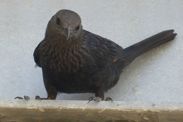 Studies of Tristram's Starling (8) - 20 May 2014