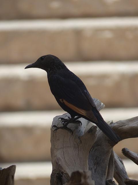 Studies of Tristram's Starling (10) - 20 May 2014