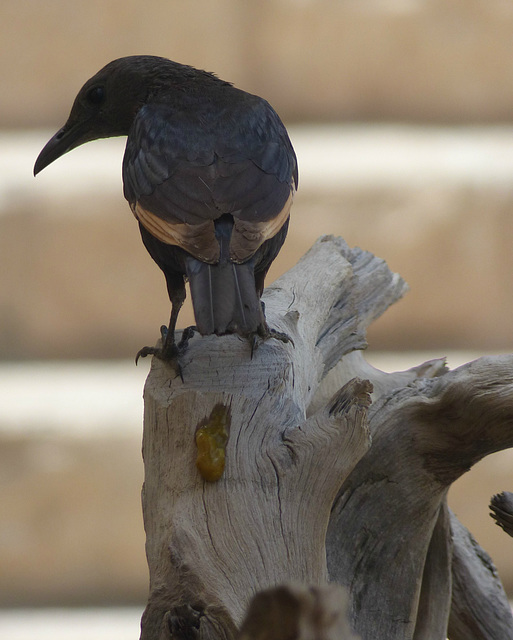 Studies of Tristram's Starling (11) - 20 May 2014