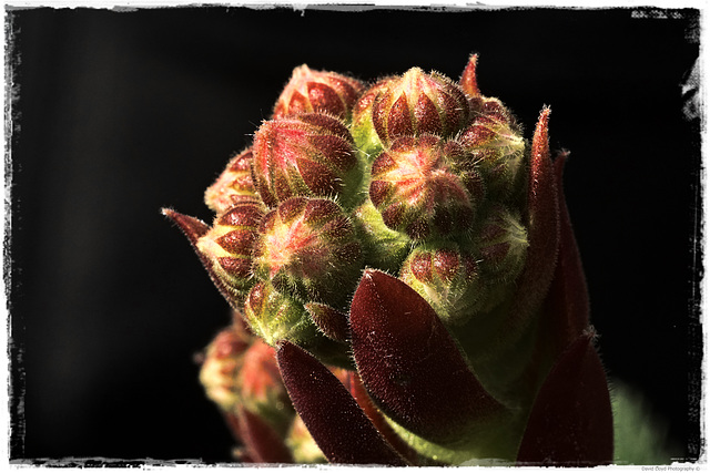 Its a macro of an alpine plant, I have no idea what it's called.