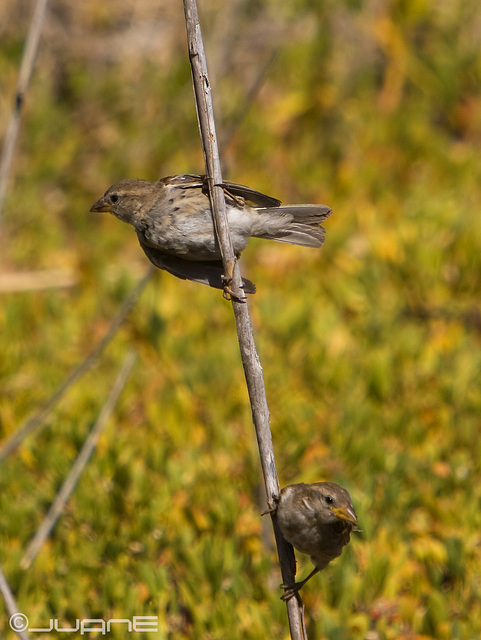 Gorrion moruno-Passer Hispaniolensis