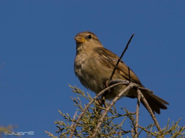 Gorrion moruno-Passer hispaniolensis (♀)