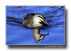 Pacific Black Duck.   Enjoy.