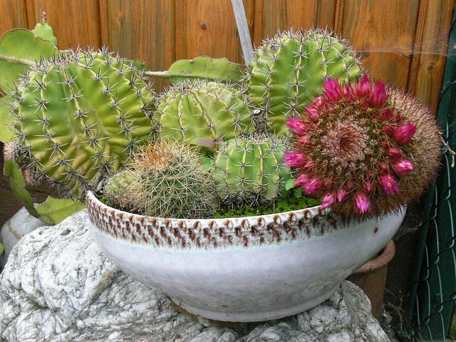 Kaktusschüssel