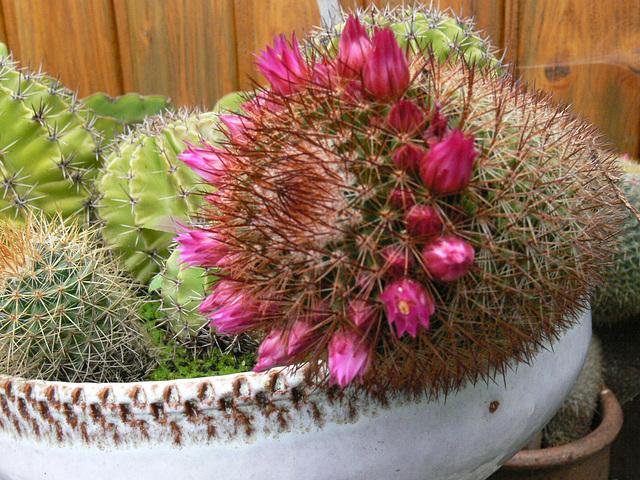 Nachbars blühender Kaktus
