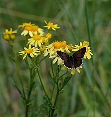 Papillon et fleurs jaunes