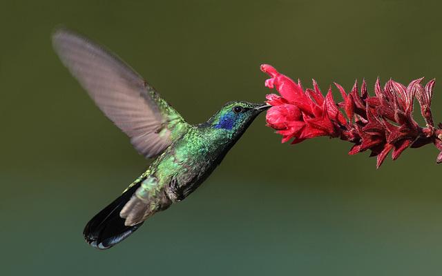 Colibri, Picaflor en espagnol - Colombie