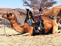 Chameaux d'Algérie