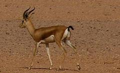 La gazelle du désert algérien