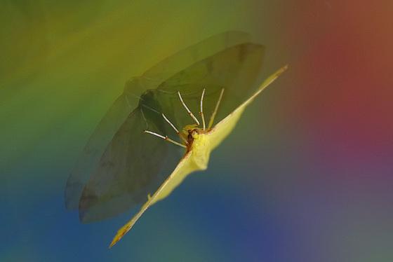Citronnelle rouillée / Brimstone moth