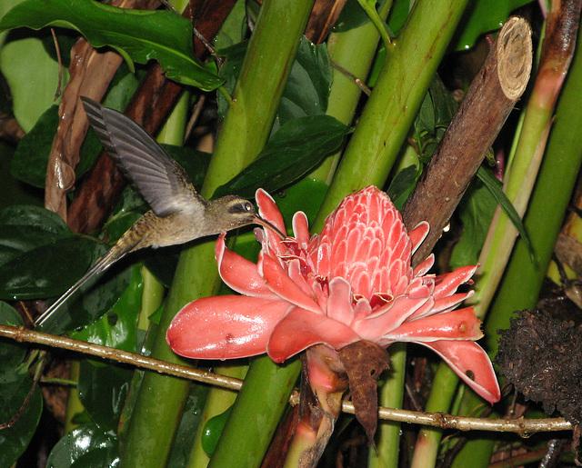 Un colibri sur une Rose de porcelaine, Costa-Rica