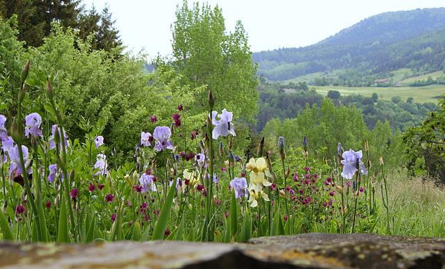 Iris pallida et Ancolies pourpres