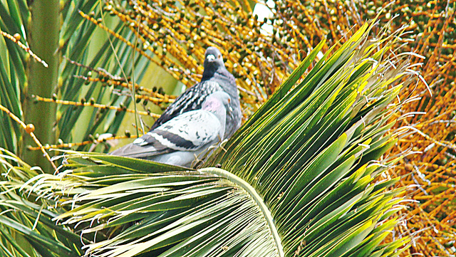 Pigeon Pair in Cabbage Tree.