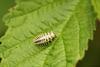 24-spot Ladybird Larva
