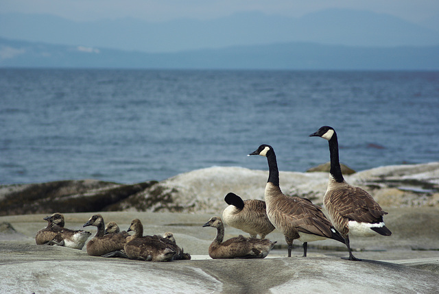 Canada Geese Family