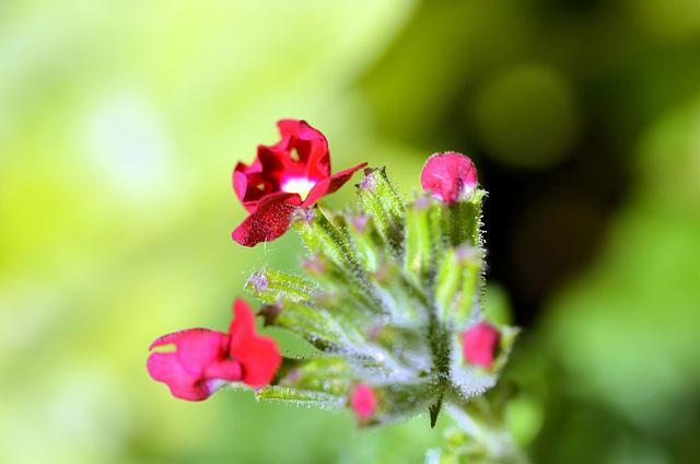 Verbena flowering
