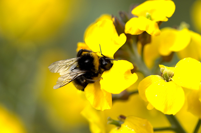 Bee on Wallflower  Erysimum