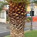 palmotrunko - Palmenrumpf