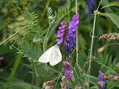 Schmetterling Kohlweissling