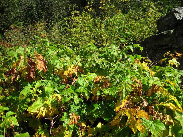Foliage On Trail to Hidden Falls (0593)