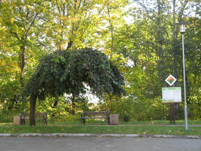 Stranga arbo en Sigulda. Latvio.