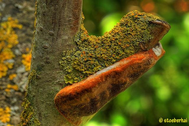 Bracket fungus at a peach-tree