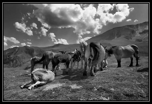 Chevaux pyrénéens / Pyreneans horses