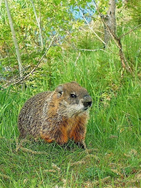 Marmotte au Québec