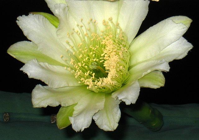 Cereus Bloom (3518)