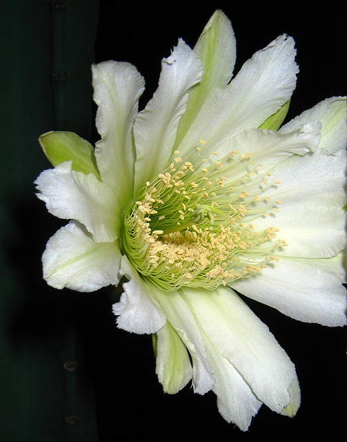 Cereus Bloom (3519)