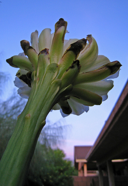 Cereus Bloom (3522)