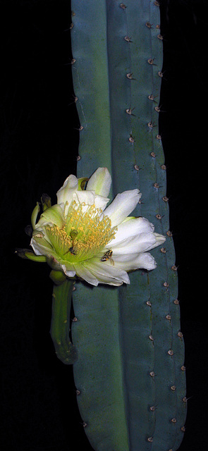 Cereus Bloom With Bees (3521)
