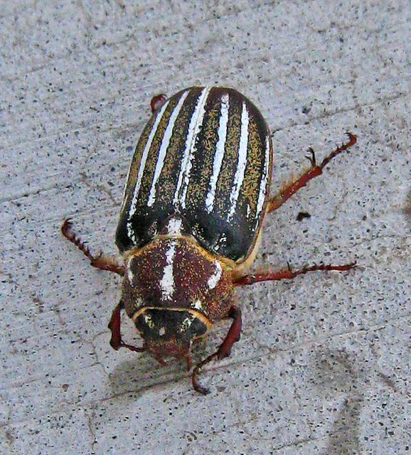 Beetle (3529)