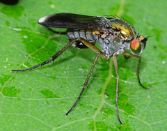Fly.Poecilobothrus nobilitatus