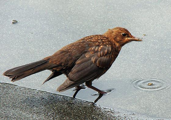 Jonge merel, Blackbird, Amsel
