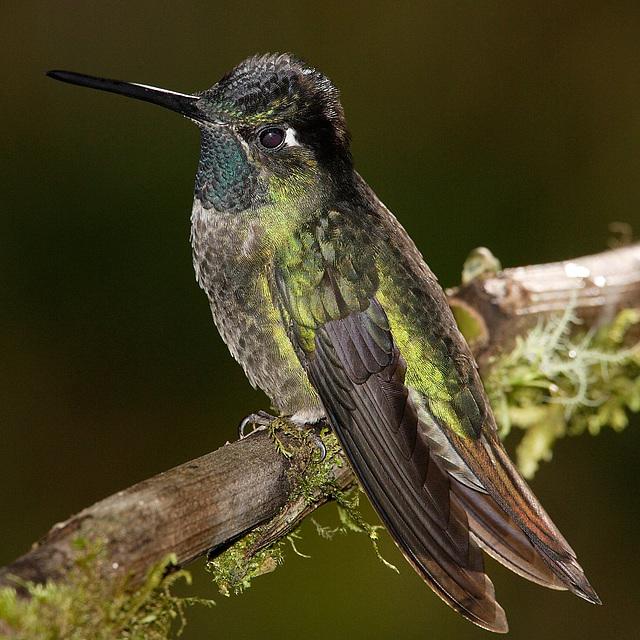 Colibri de Rivoli, Panama