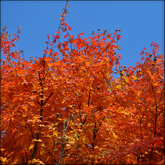Colorful leaves, falling soon.