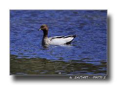 Australian Wood Duck.   Enjoy.