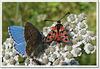 Polyommatus bellargus et Zygaena fausta