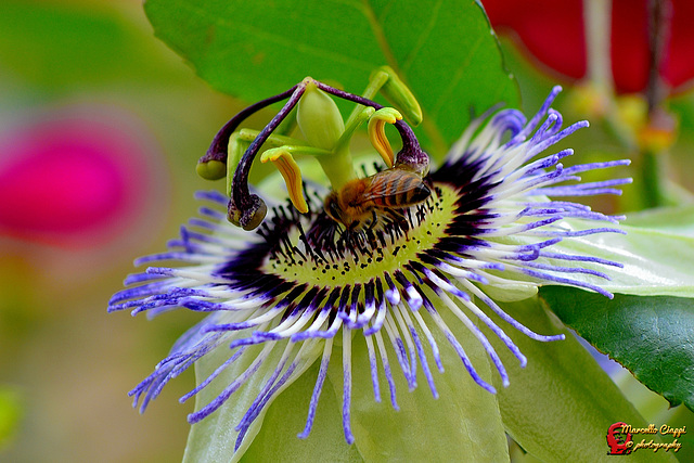 Passiflora con ape  --   Passion flower with bee  (on explore)