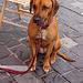 bonkora hundo - gutmütiger Hund