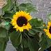 sunfloro - Sonnenblume