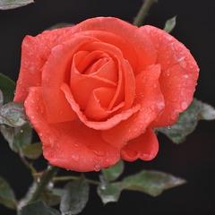Gouttes de pluie sur rose du jardin