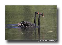 Black Swans,   Enjoy.