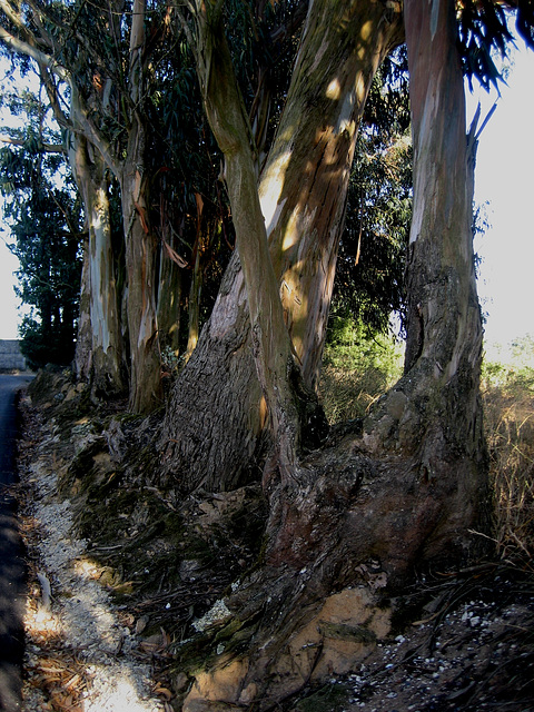 A-dos-Ruivos, eucalyptus, surf of roots