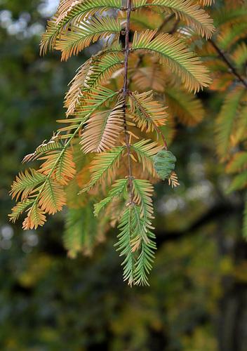 Metasequoia glyptostroboïdes - Metasequoia du Sichuan