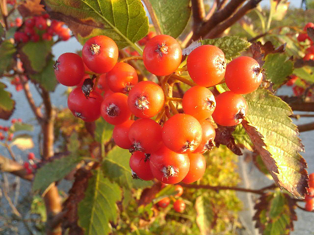 Berries in the first sunlight