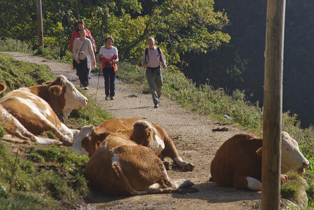 eine Kuh macht Muh viele Kühe machen Mühe